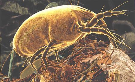 red-dust-mite.jpg